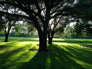 tree in a park